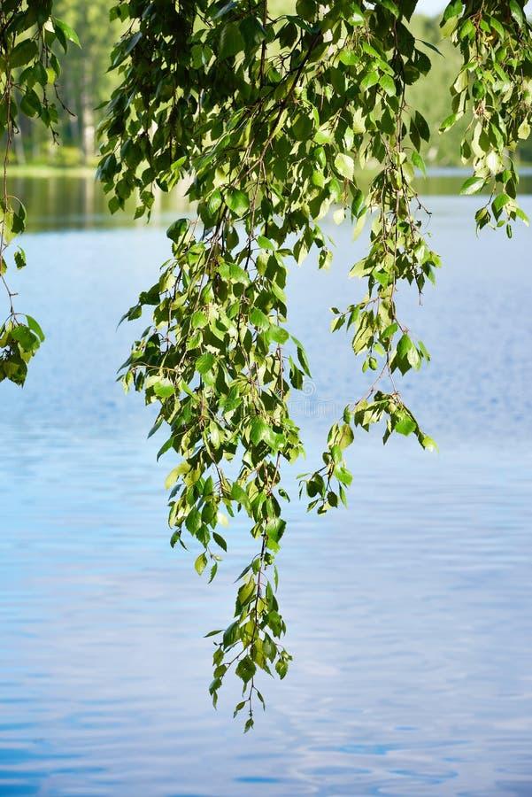 桦树分支在湖的 库存图片