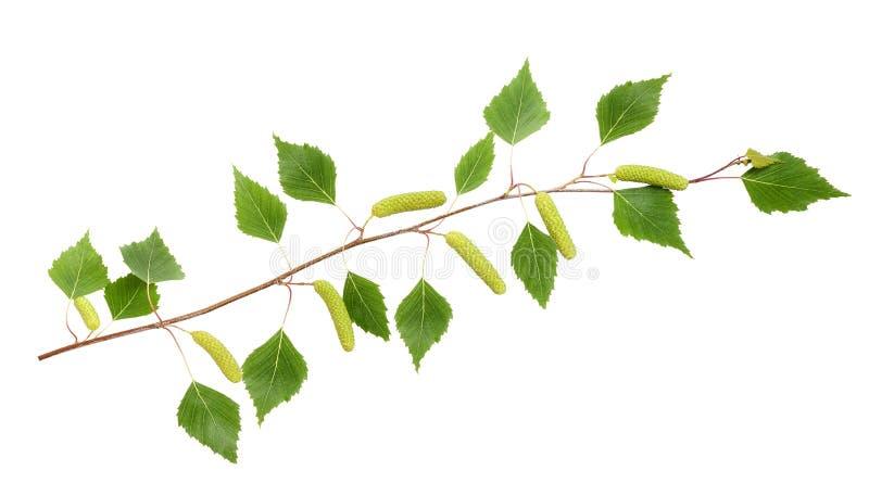 桦树分支 图库摄影