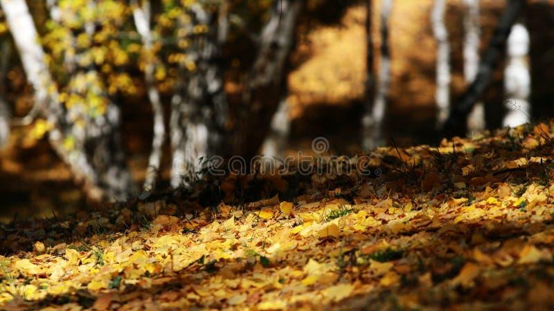 桦树划分为的叶子 免版税图库摄影