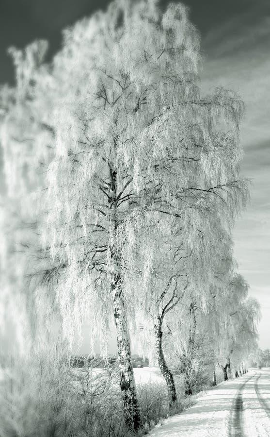 桦树包括雪结构树 图库摄影