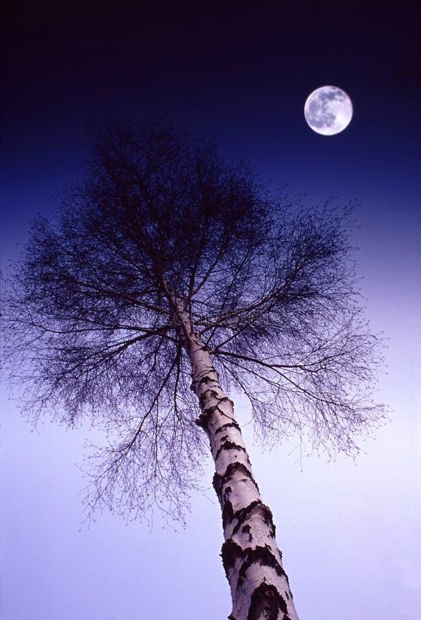 桦树午夜 免版税库存照片