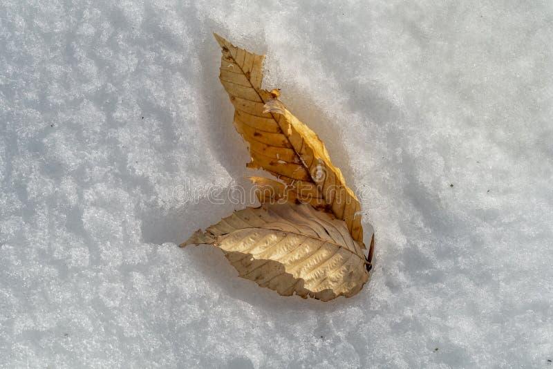 桦树叶子夫妇在雪的 库存图片