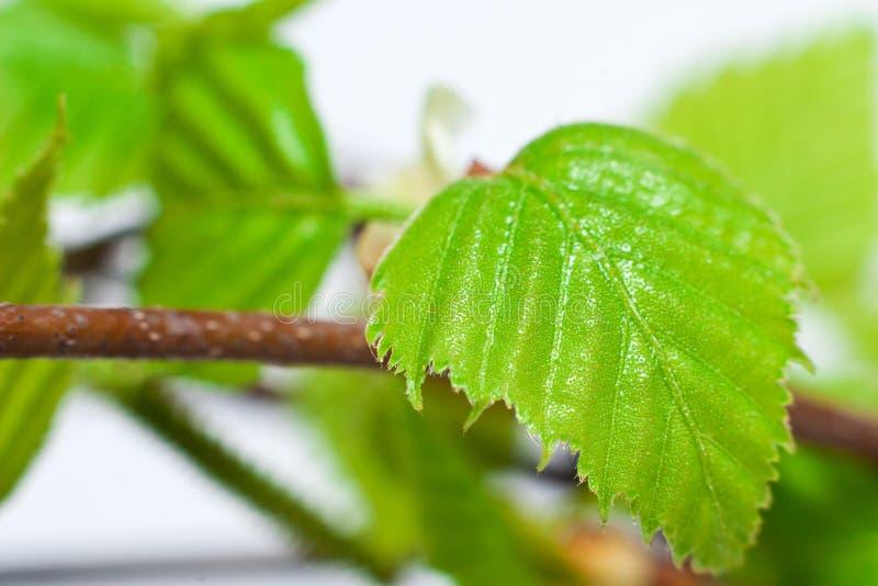 桦树叶子结构树 库存照片