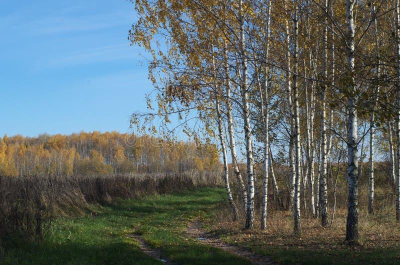 桦树叶子绿色树丛可以 金黄秋天在森林里 免版税库存图片