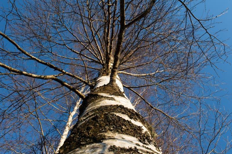 桦树吠声自然 库存照片
