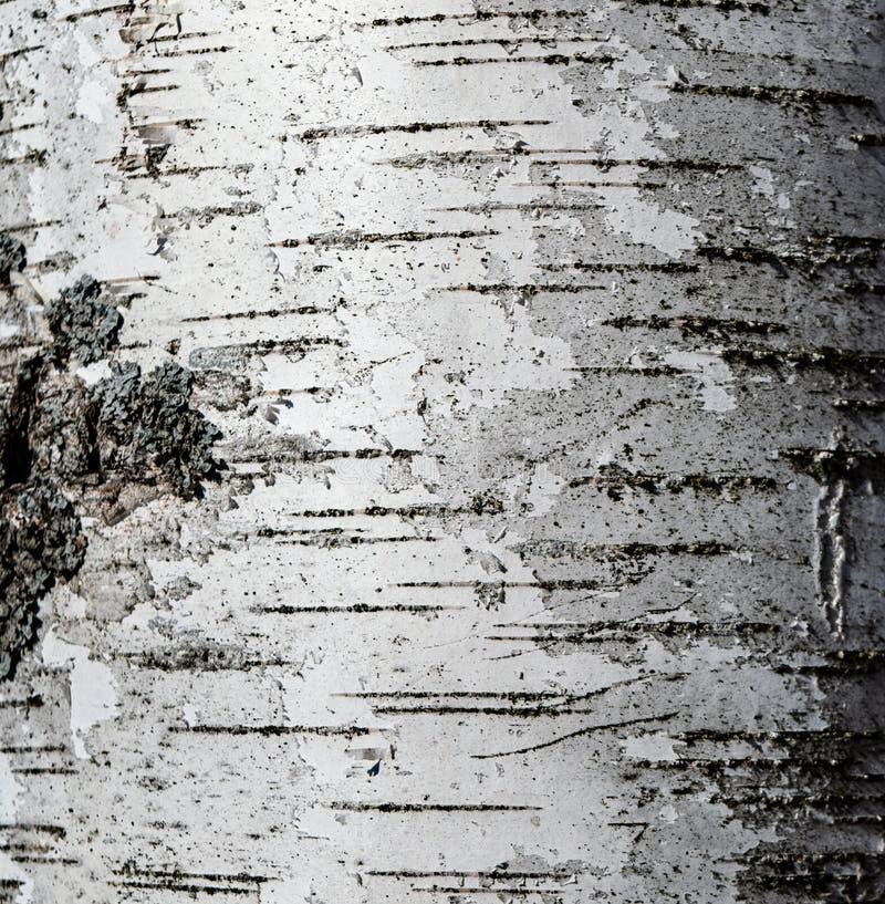 桦树吠声 免版税库存图片