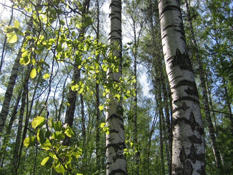 桦树和发光在阳光下的绿色叶子 库存图片