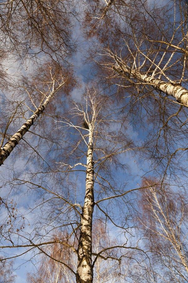 桦树唯一结构树 免版税库存照片
