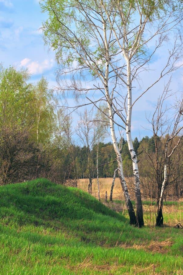 桦树在春天森林里 库存图片