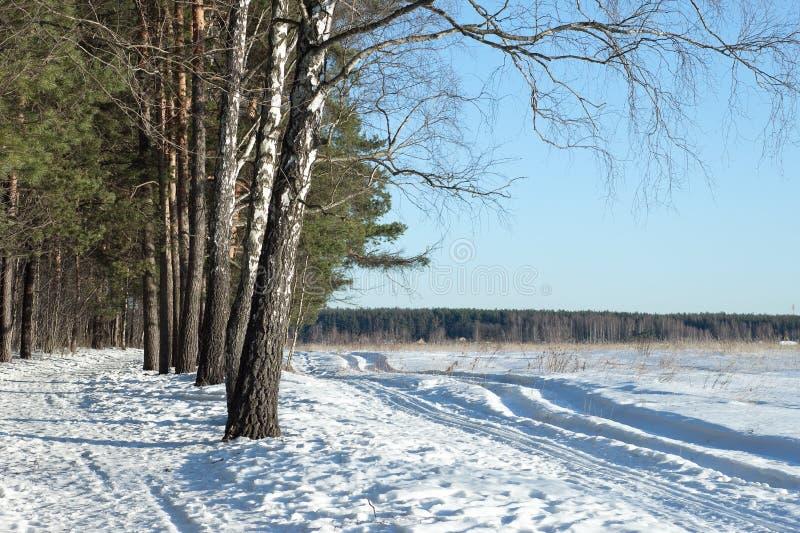 桦树在春天森林里 免版税库存照片