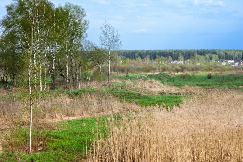 桦树在春天森林里 免版税库存图片