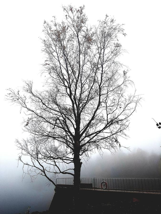 桦树在有雾的早晨 免版税库存图片