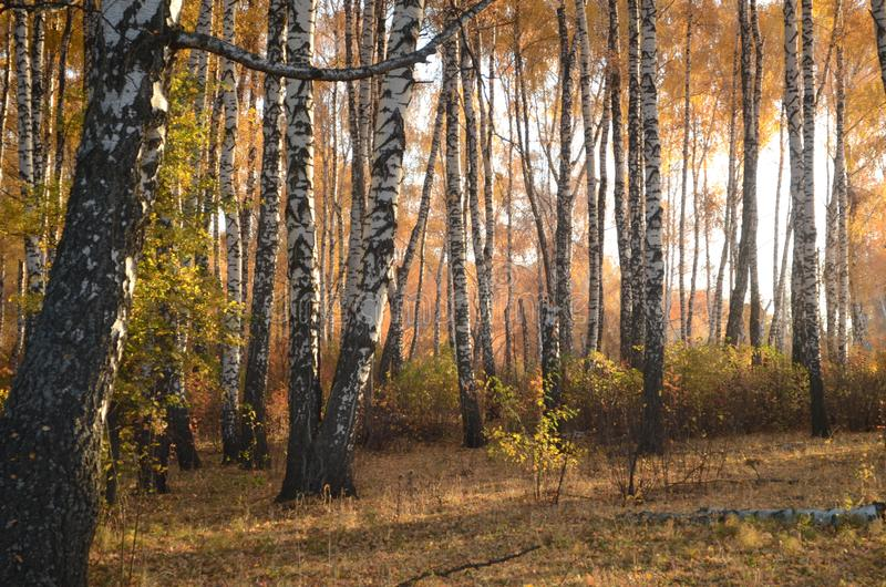 桦树在秋天 库存照片