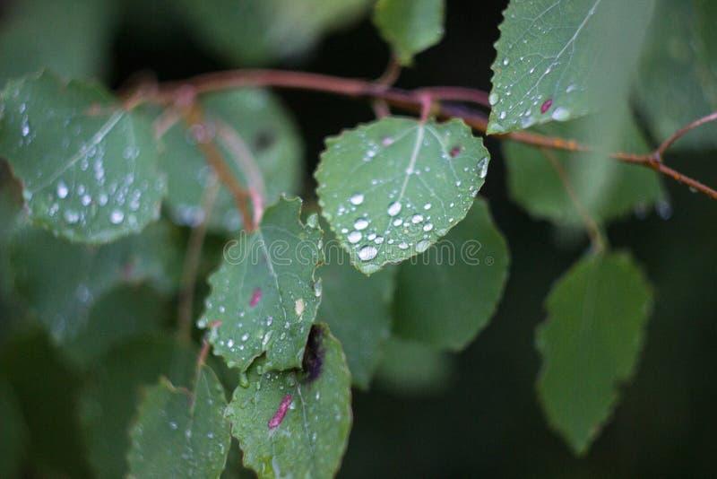 桦树在露滴离开 图库摄影