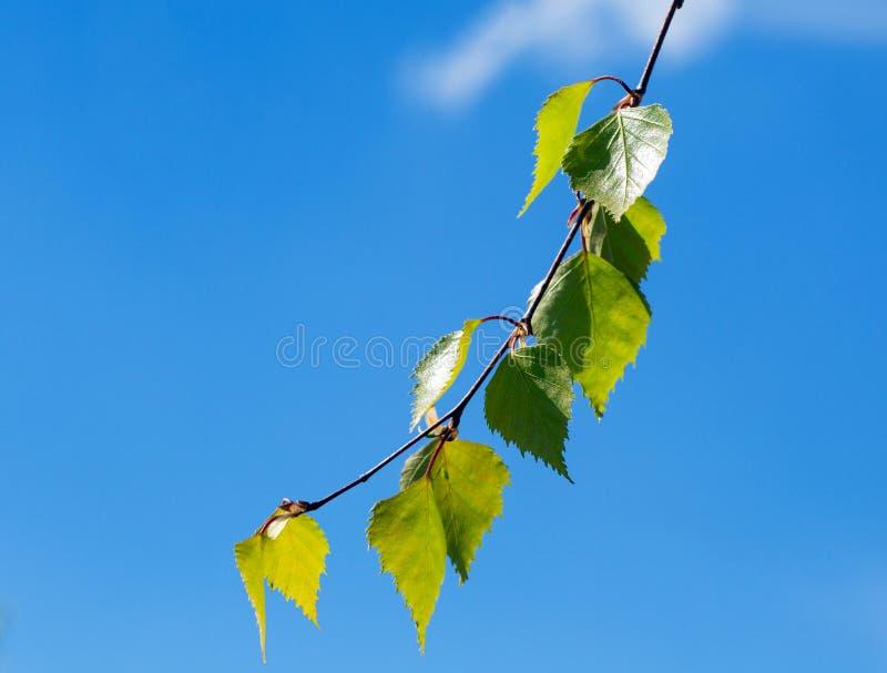 桦树小树枝  免版税库存图片