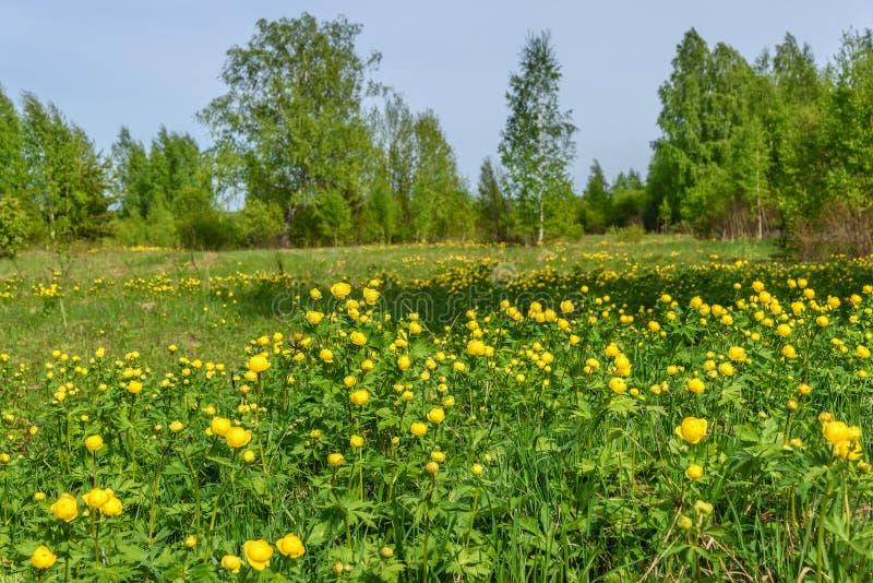 桦树开花草甸树丛弹簧 库存图片