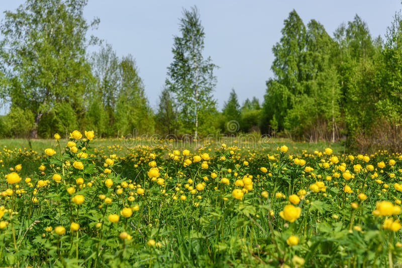 桦树开花草甸树丛弹簧 免版税图库摄影