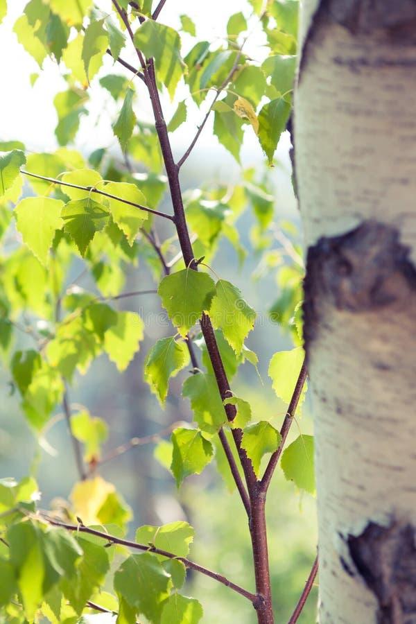 桦树接近的结构树 免版税库存图片
