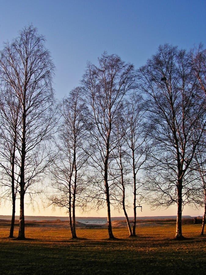 桦树日落 免版税图库摄影