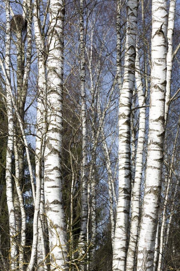 桦树晚冬 免版税库存照片