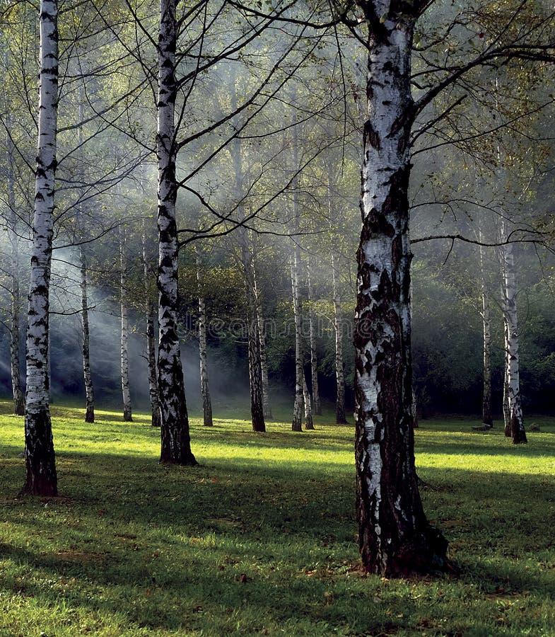 桦树有雾的森林 库存照片