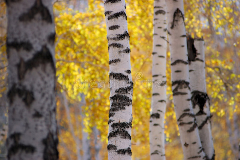 桦树木头 免版税库存照片
