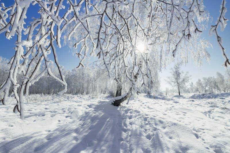 桦树树丛冬天晴天 免版税库存照片