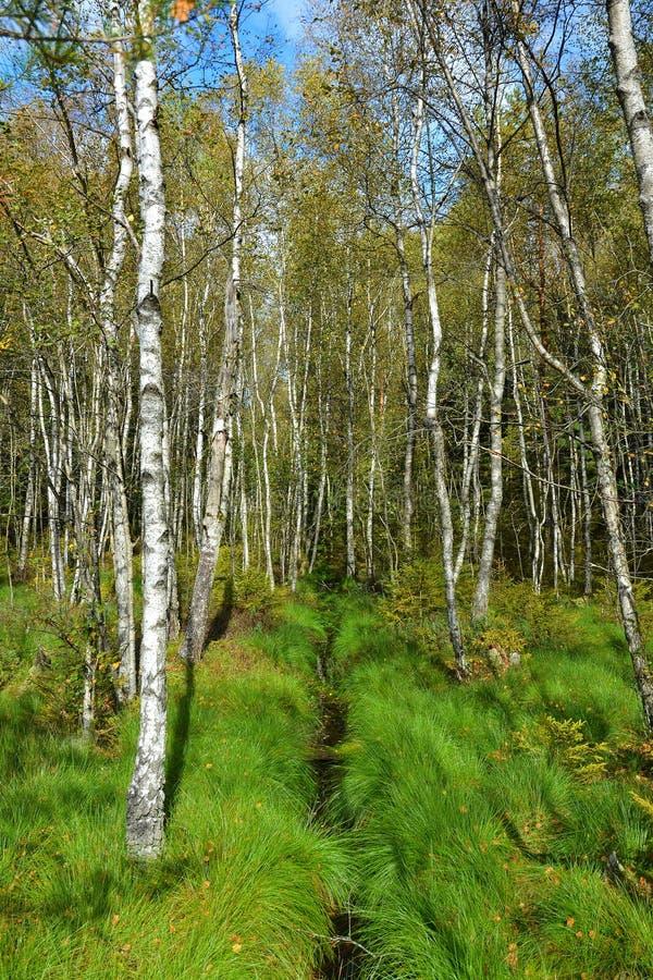 桦树树丛和溪在绿草 秋天风景在好日子 免版税库存照片
