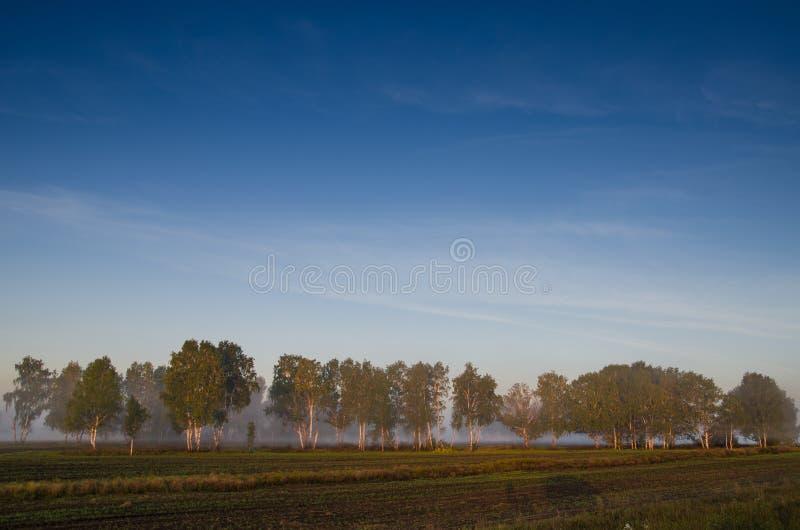 桦树树丛和绿色草甸早晨雾和天空的与 库存图片
