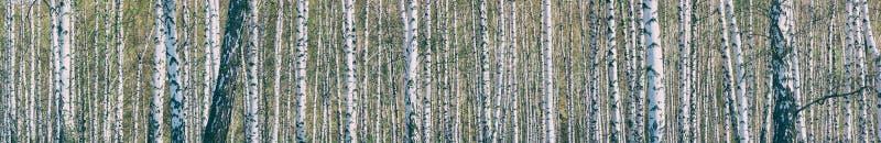 桦树树丛在一个晴朗的春日 库存照片