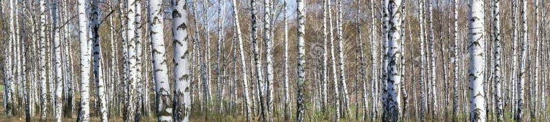 桦树树丛在一个晴朗的春日 免版税图库摄影