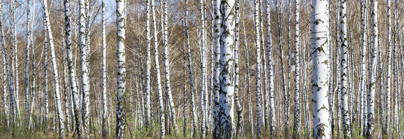 桦树树丛在一个晴朗的春日 免版税库存图片