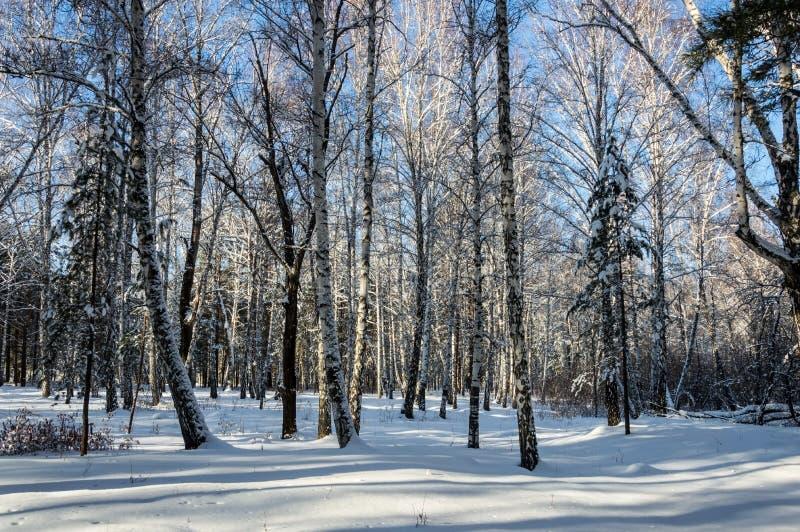 桦树树丛在冬天 晴朗的晴天 库存图片