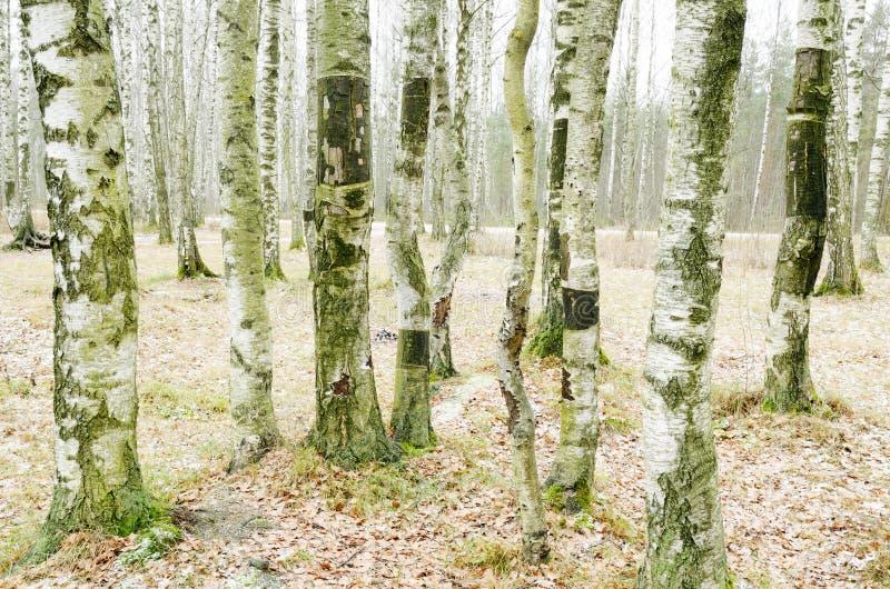 桦树树丛在冬天 免版税库存照片