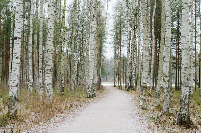 桦树树丛在冬天 库存图片