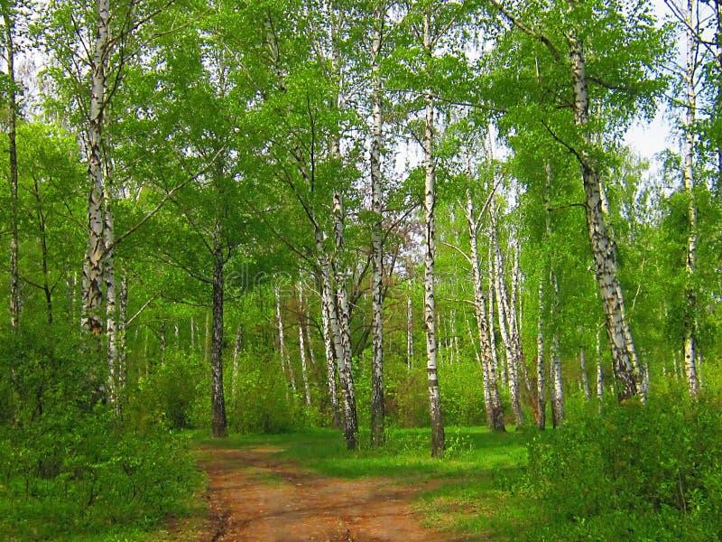 桦树树丛在春天和夏天 免版税库存照片