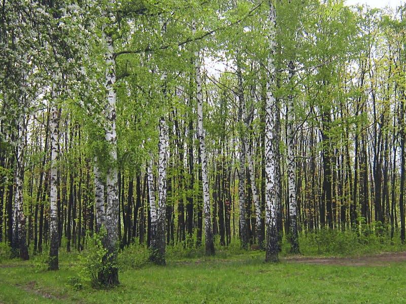 桦树树丛在春天和夏天 图库摄影