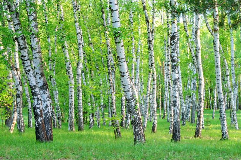 桦树树丛在森林在清早,树干,夏天里 免版税库存照片