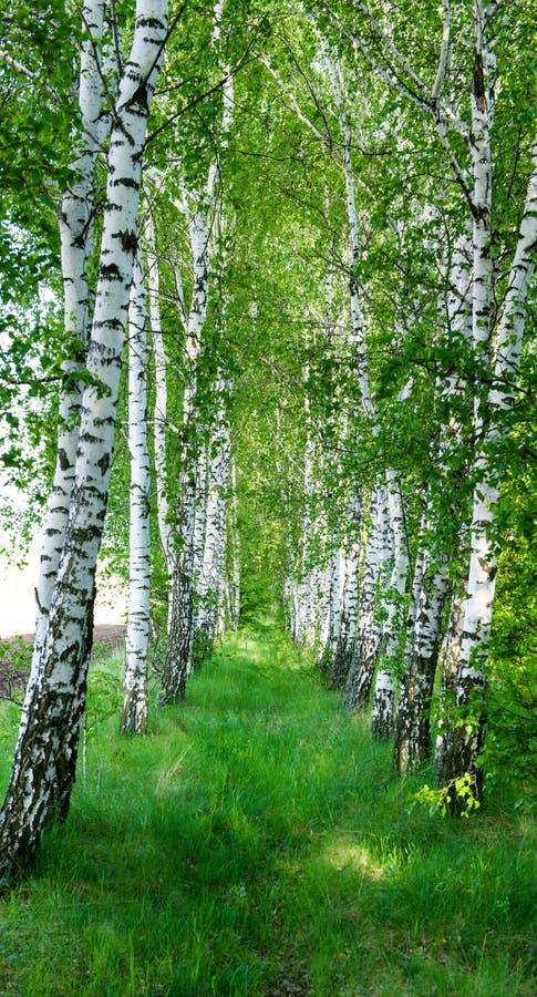 桦树树丛风景在春天图片