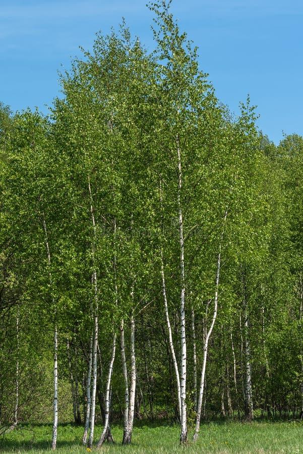 桦树树丛离开夏天 库存图片