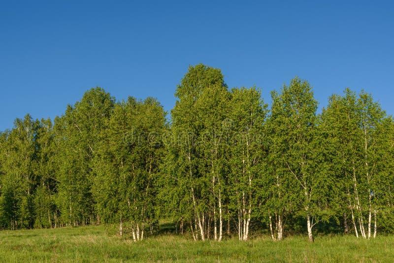 桦树树丛离开树 免版税库存照片