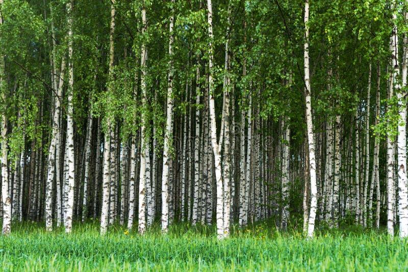 桦树树丛  免版税库存图片