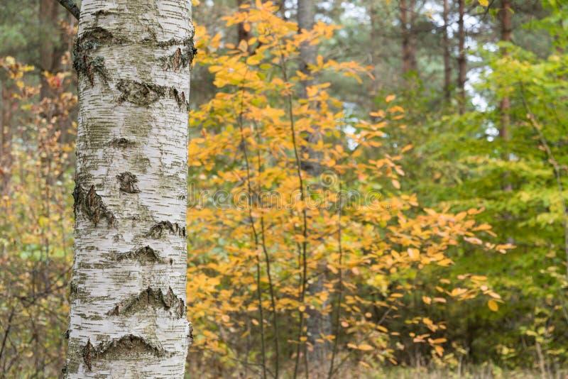 桦树树干在一个五颜六色的森林里 库存图片
