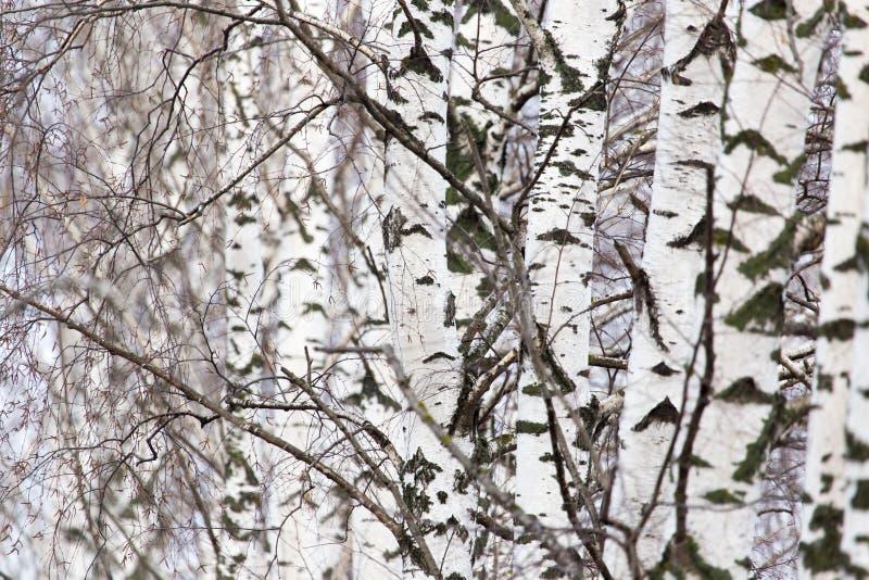 桦树树干在一个森林里本质上 库存照片