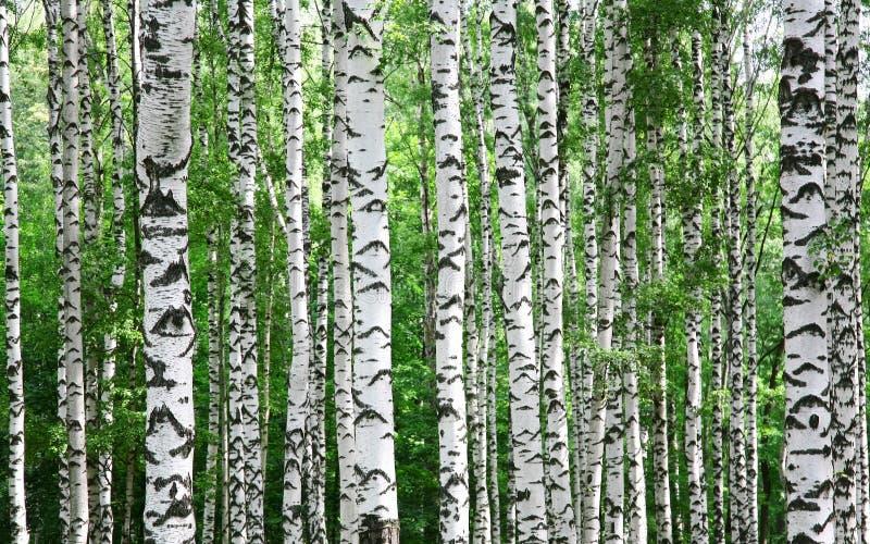 桦树树干在夏天 免版税库存照片