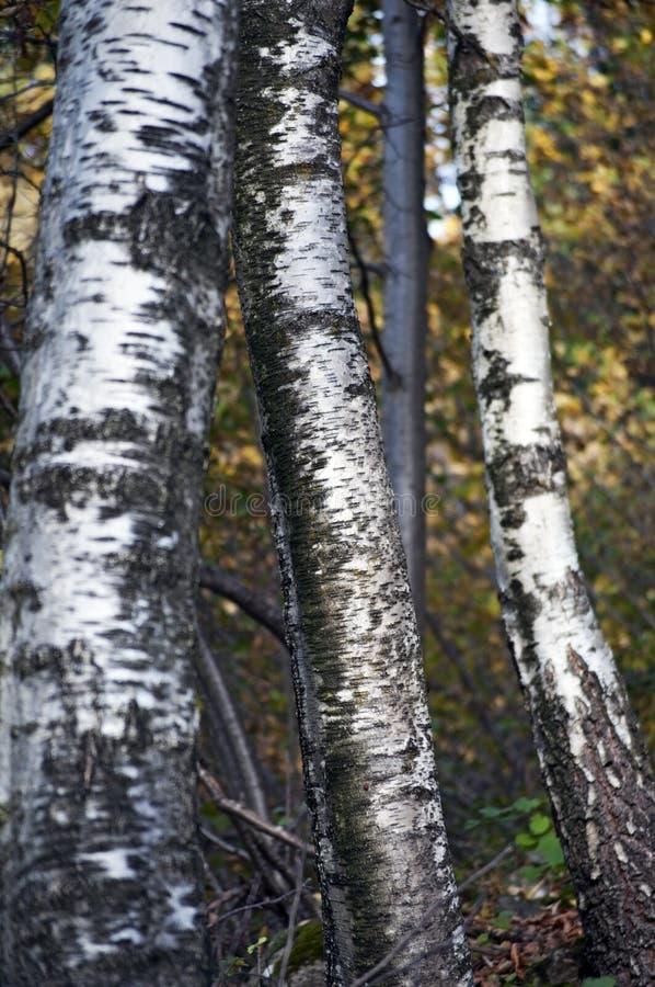 桦树树干特写镜头 免版税库存照片