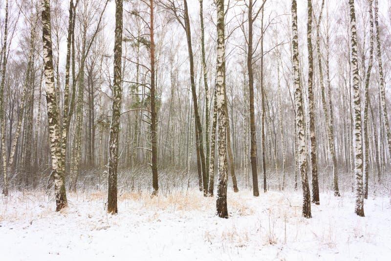桦树森林在冬天 免版税图库摄影