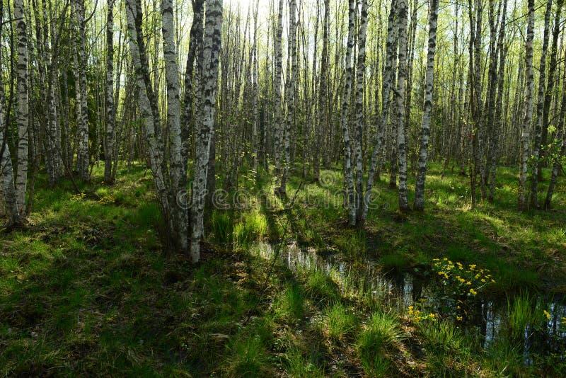 桦树森林在春天在新鲜的绿草和野花的在树中白色树干  库存图片