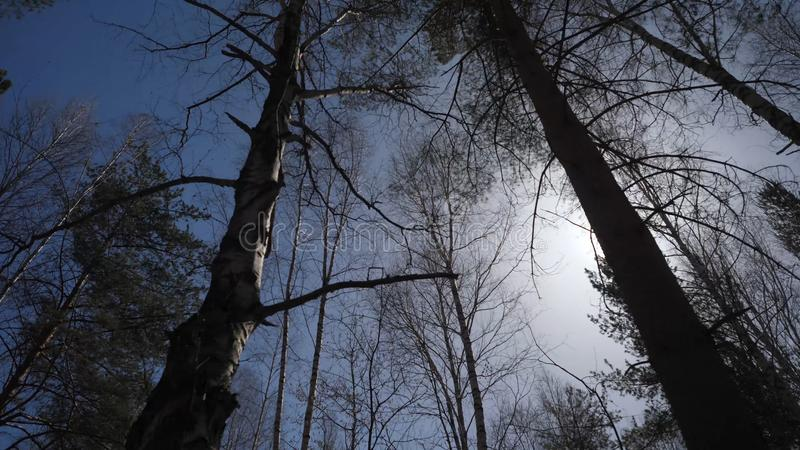 桦树森林在阳光下早晨 桦树树丛在秋天 免版税库存图片