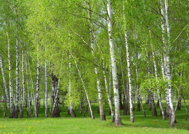Download 桦树森林 库存图片. 图片 包括有 树干, 叶子, 环境, 树丛, 夏天, 公园, 森林, 室外, 大麦 - 72361915